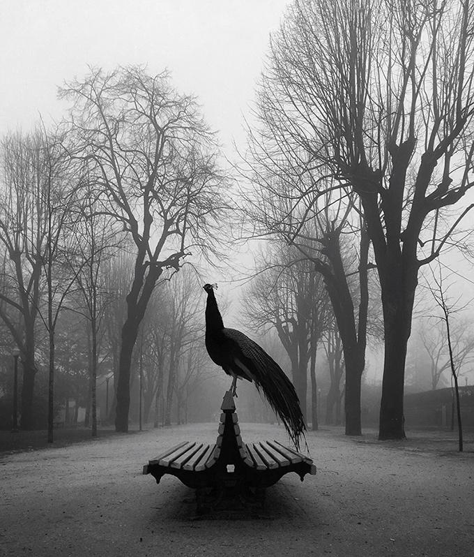 «Гордий павлін». Світлина: Diogo Lage
