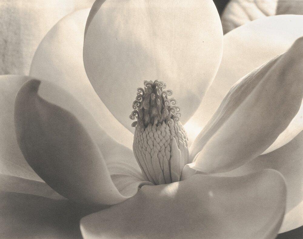 Імоджен Каннінгем, «Цвітіння Магнолії», 1925
