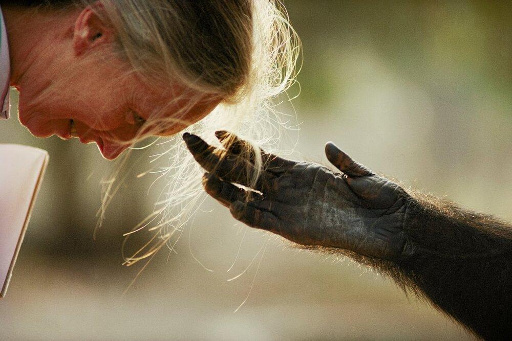 Michael Nichols, шимпанзе простягає руку до докторки Джейн Гудолл